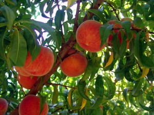 peaches tree